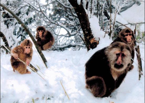 峨眉山冬景灵猴