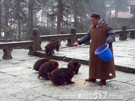 峨眉山寺庙法师施舍野生猴