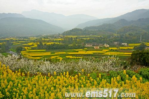 峨眉山山脚黄湾满眼金黄的油菜花