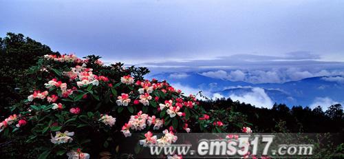 峨眉山高山盛开的杜鹃花
