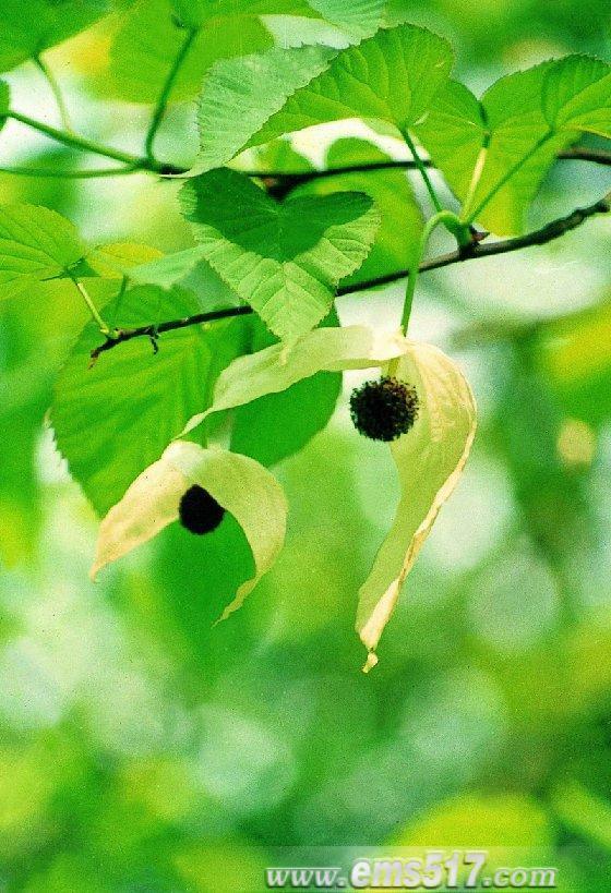 峨眉山珙桐花(又名鸽子花)