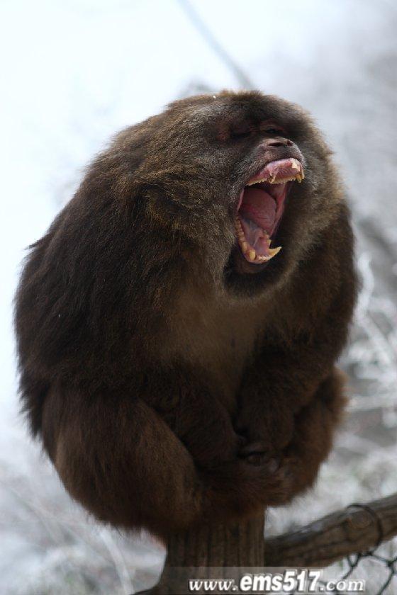 峨眉山胖猴