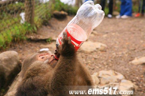 贪吃的峨眉山猴子