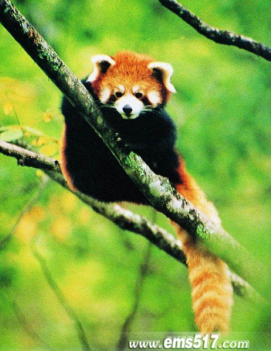 峨眉山小熊猫