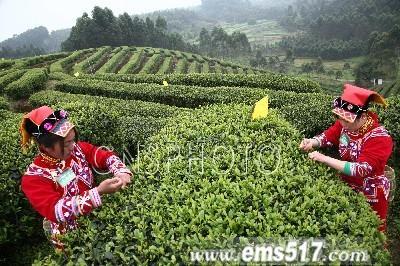 采茶的彝族姑娘