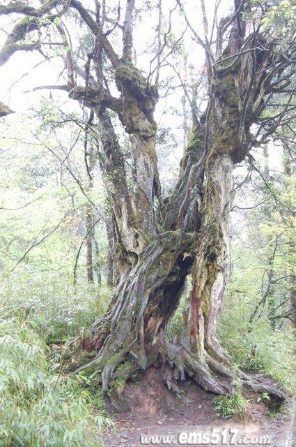 峨眉山山道上一株古树