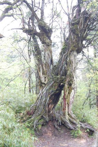 峨眉山上的古树