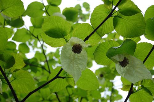 珍稀植物峨眉山珙桐