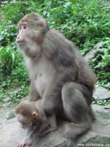 峨眉山生态猴