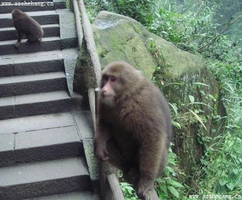 峨眉山自然生态猴子