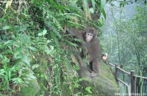 峨眉山自然生态猴