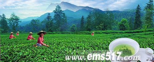 卓尔不群峨眉雪芽 中国珍稀有机绿茶。峨眉雪芽有机茶生产基地