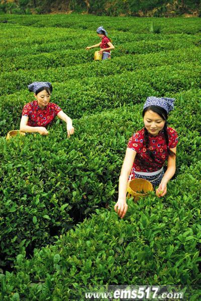峨眉雪芽有机生态绿茶