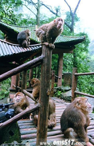 峨眉山幽谷灵猴