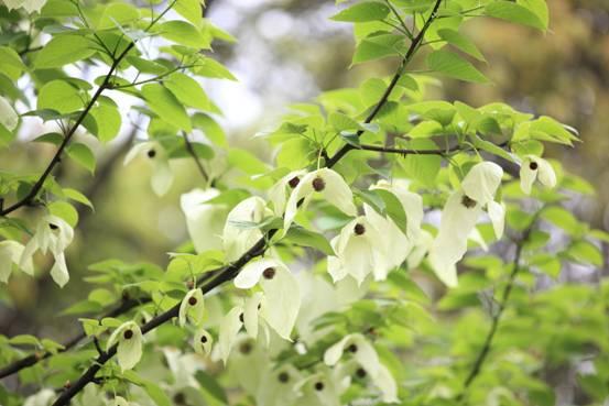春末夏初峨眉杜鹃花儿艳,美丽的珙桐显暧昧