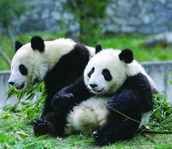 仲夏六月  逍遥峨眉,峨眉山看熊猫