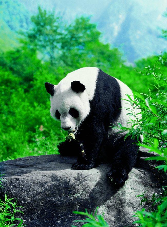 熊猫大世界即将落户峨眉山!